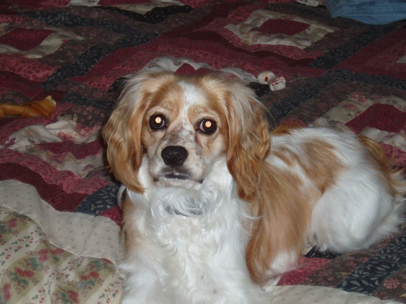 Caramel Buff and White Parti (Bailey) 1yr